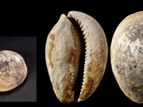 商•大型虎斑海贝币图片价格